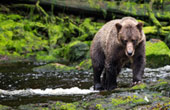 Alaska bear watching at Cove Peaks